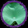 Chiết xuất lá sen giảm mỡ nội tạng hiệu quả